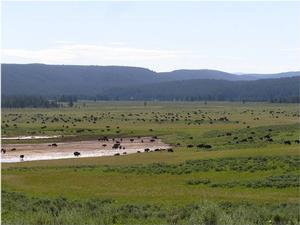 Large Group of Yellowstone Bison gathering in Hayden Valley during the summer months.