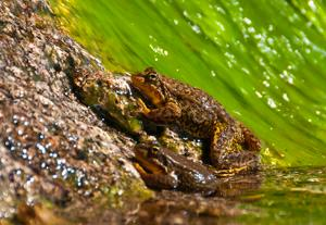 Photo of Mountain Yellow-Legged Frog