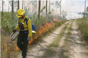 Fire is used in managing exotic plants, reducing fuel accumulations, and limiting hardwood competition.  Firefighter Pat Edwards carefully ignites Pine Rocklands during a prescribed fire in Everglades National Park, NPS.