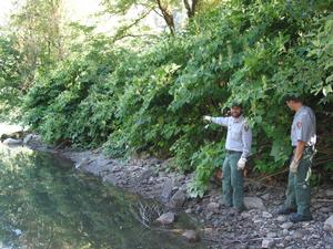 Surveying knotweed along the Skagit River