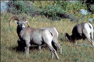 Photo of Sierra Nevada bighorn sheep ram.