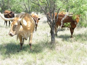 Four longhorn cattle grazing dry grass under the scrubby trees in Texas.