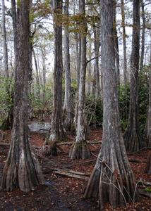 Photo of Cypress trees along the boardwalk of Kirby Storter Roadside Park