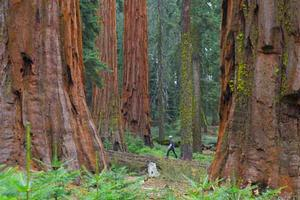 Mature giant sequoia trees in the Mariposa Grove