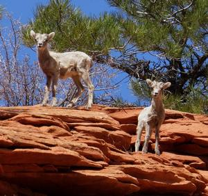 Two Desert Bighorn lambs at Zion National Park. NPS photo