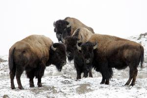 Yellowstone Bison in Winter.
