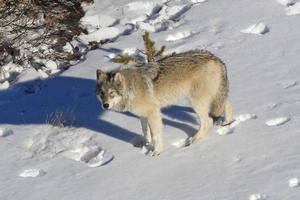 A Delta Pack Wolf in Yellowstone