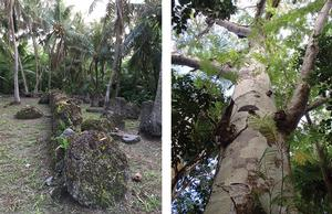Left: Mochong Latte Village site. Right: Serianthes nelsonii tree in limestone forest.