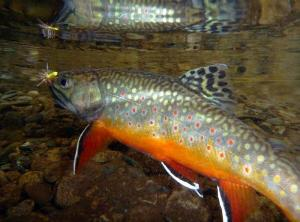 Photo of brook trout in Shenandoah National Park stream. Stream life, such as fish and insects, have been harmed as a result of long-term impacts of acid rain.