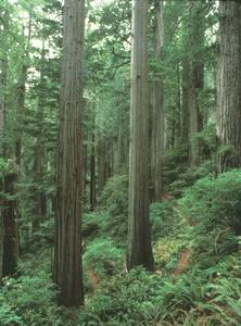Old growth redwood forest